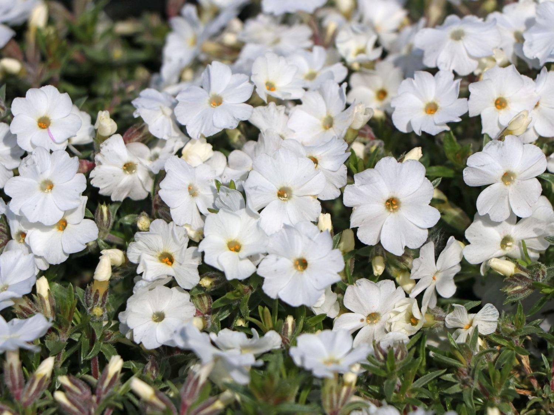 TeppichFlammenblume White Admiral  Phlox douglasii