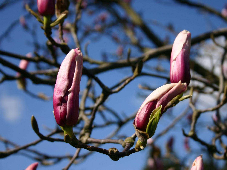 tulpen magnolie 39 pickard 39 s schmetterling 39 magnolia. Black Bedroom Furniture Sets. Home Design Ideas
