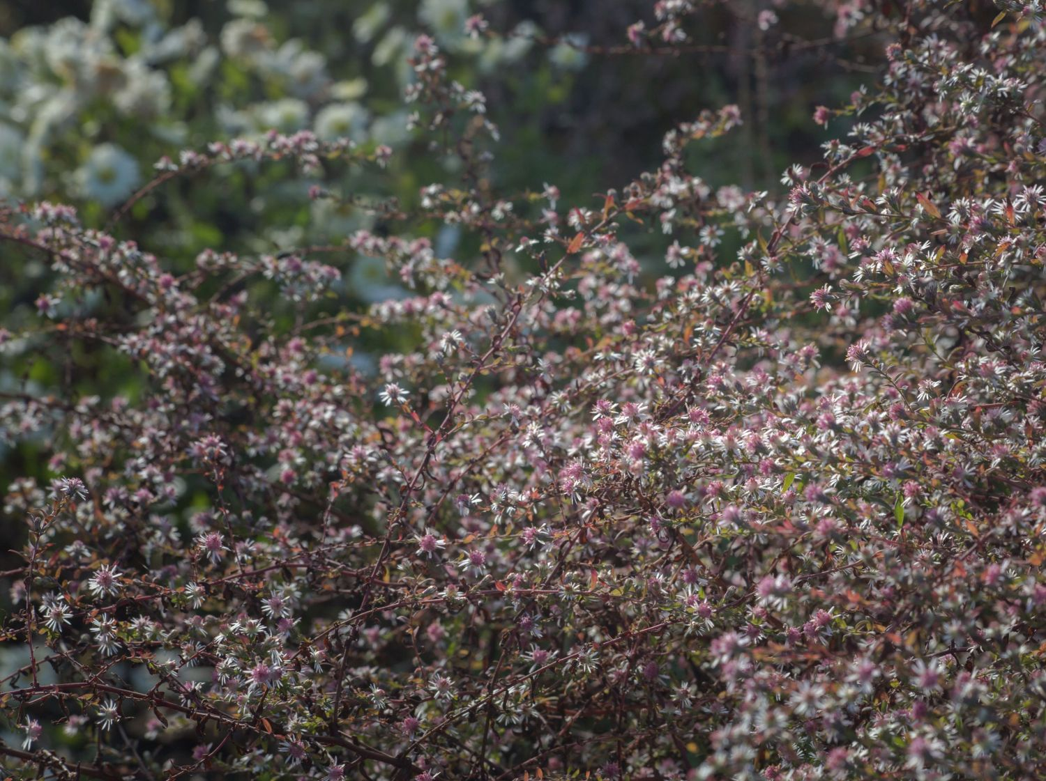 waagerechte aster lady in black aster lateriflorus var