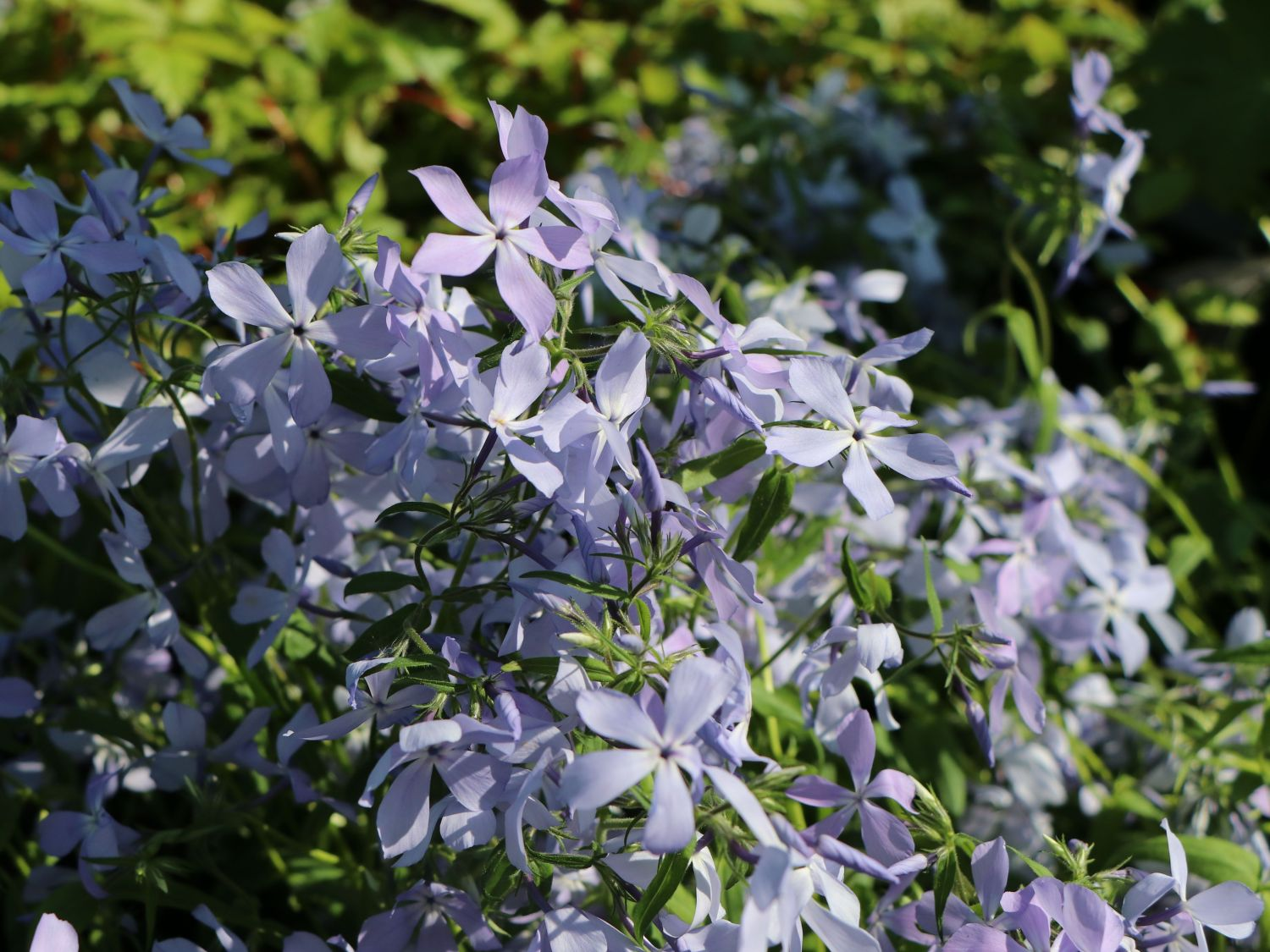 Wald Flammenblume Clouds Of Perfume Phlox Divaricata Clouds Of