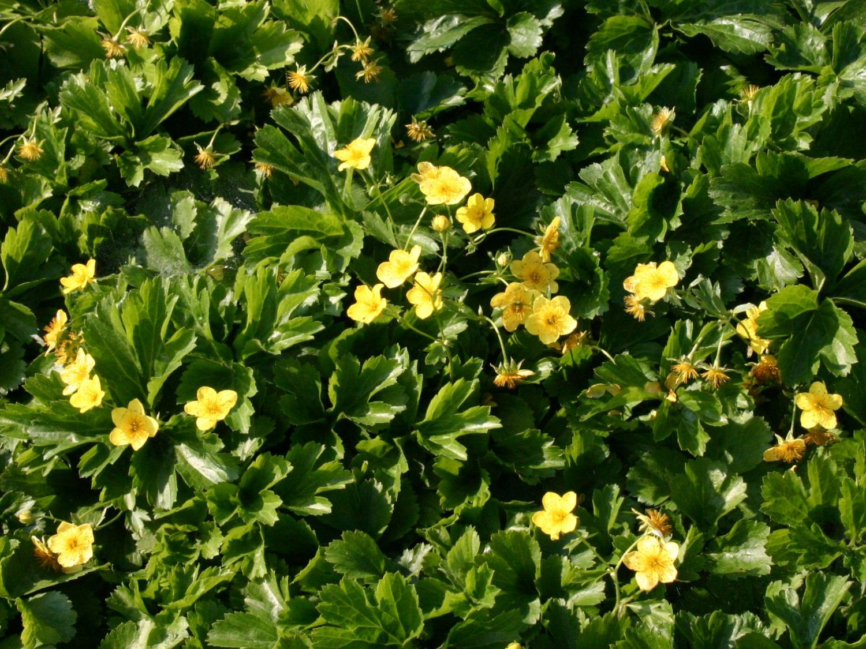 gelbe Blüten 20 Stück Waldsteinia Ternata Golderdbere immergrüne Bodendecker