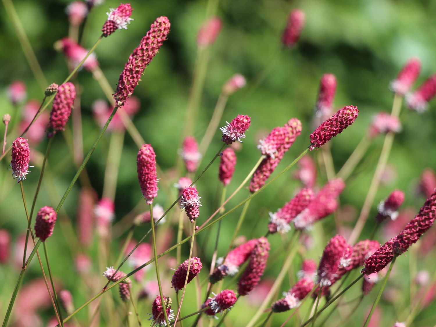 Wiesenknopf 39 pink tanna 39 sanguisorba officinalis 39 pink for Sanguisorba officinalis red thunder