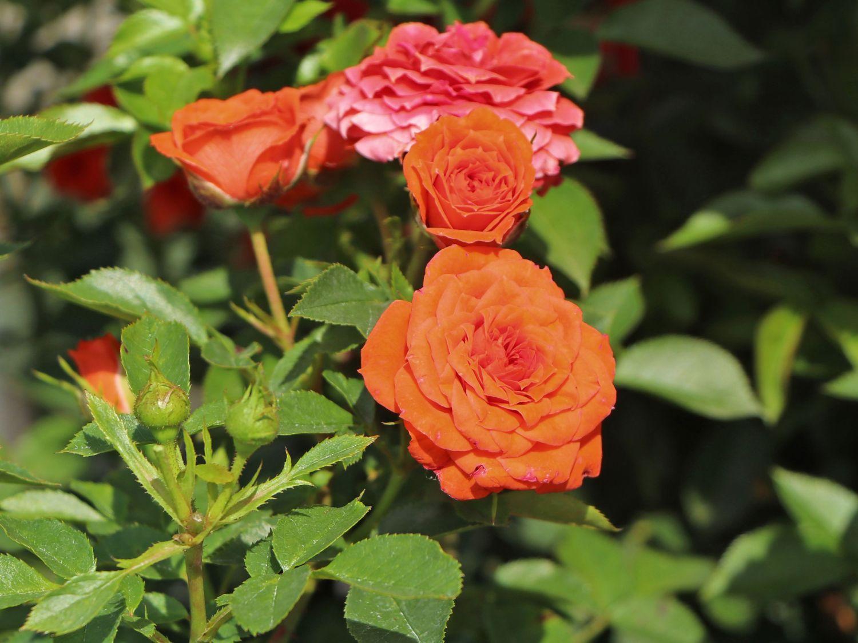 Zwergrose Orange Juwel Schönste Rosen Expertenwissen