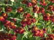 Sonnenbraut 'Ruby Tuesday' �