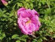 Bodendeckerrose 'Pink Roadrunner' �