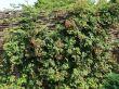 Brombeere 'Oregon Thornless' / 'Thornless Evergreen'