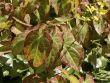 Frohnleiten Elfenblume 'Frohnleiten'