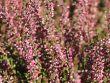 Sommerheide / Besenheide GardenGirls � 'Angie' -S-
