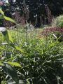 Graubartgras - Spodiopogon sibiricus