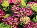 Ballhortensie / Bauernhortensie 'Hot Red Purple' � - Hydrangea macrophylla 'Hot Red Purple' �