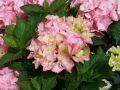 Ballhortensie 'Pink Sensation' - Hydrangea macrophylla 'Pink Sensation'