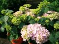 Ballhortensie Everbloom � 'Pink Wonder' � - Hydrangea macrophylla Everbloom � 'Pink Wonder' �