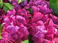 Ballhortensie 'Hot Red � Violet' - Hydrangea macrophylla 'Hot Red � Violet'