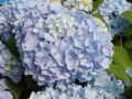 Bauernhortensie 'Endless Summer' � blau - Hydrangea macrophylla 'Endless Summer' � blau