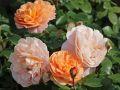 Beetrose 'Sangerh�user Jubil�umsrose' � / Cervia - Rosa 'Sangerh�user Jubil�umsrose' � / Cervia