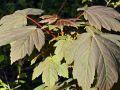 Bergahorn - Acer pseudoplatanus