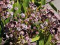 Berglorbeer / Lorbeerrose 'Mitternacht' - Kalmia latifolia 'Mitternacht'