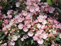 Berglorbeer / Lorbeerrose 'Tiddlywinks' - Kalmia latifolia var. myrtifolia 'Tiddlywinks'