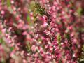 Besenheide / Sommerheide 'Aphrodite' � - Calluna vulgaris 'Aphrodite' �