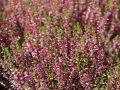 Besenheide / Sommerheide 'Marlies' - Calluna vulgaris 'Marlies'