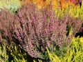 Besenheide / Sommerheide 'Rosita' -S- - Calluna vulgaris 'Rosita' -S-