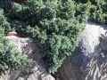 Blauer Zwerg-Wacholder - Juniperus squamata 'Blue Star'