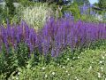 Bl�ten-Salbei 'Jan Spruyt' - Salvia nemorosa 'Jan Spruyt'