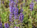 Bl�ten-Salbei 'R�gen' - Salvia nemorosa 'R�gen'