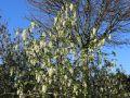 Blutjohannisbeere 'White Icicle' -Neu- - Ribes sanguineum 'White Icicle'