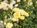 Bodendeckerrose 'Yellow Fairy' � - Rosa 'Yellow Fairy' �