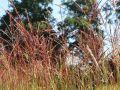 Chinaschilf  'Ferner Osten' - Miscanthus sinensis 'Ferner Osten'