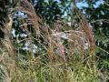 Chinaschilf 'Kleine Font�ne' - Miscanthus sinensis 'Kleine Font�ne'