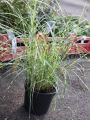 Chinaschilf 'Little Zebra' � - Miscanthus sinensis 'Little Zebra' �
