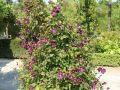 Clematis 'Etoile Violett' - Clematis viticella 'Etoile Violett'