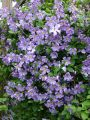 Clematis 'Prince Charles' - Clematis viticella 'Prince Charles'