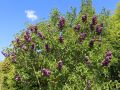 Edelflieder  'Andenken an Ludwig Sp�th' - Syringa vulgaris 'Andenken an Ludwig Sp�th'