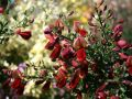 Edelginster 'Red Wings' - Cytisus scoparius 'Red Wings'