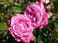 Edelrose 'Blue River' � - Rosa 'Blue River' �