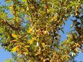 Essbare �lweide / Vielbl�tige �lweide - Elaeagnus multiflora