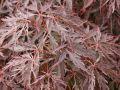 F�cher-Ahorn 'Inaba shidare' - Acer palmatum 'Inaba shidare'