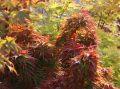 F�cher-Ahorn 'Mikawa yatsubusa' - Acer palmatum 'Mikawa yatsubusa'