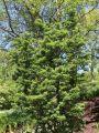 F�cher-Ahorn 'Shishigashira' / 'Cristatum' - Acer palmatum 'Shishigashira' / 'Cristatum'