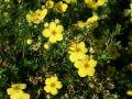 Fingerstrauch  'Goldteppich' /  'Goldkissen' - Potentilla fruticosa 'Goldteppich' / 'Goldkissen'