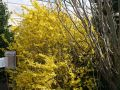 Forsythie 'Golden Times' - Forsythia 'Golden Times'