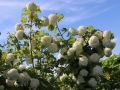 Gef�llter Schneeball / Echter Schneeball 'Roseum' - Viburnum opulus 'Roseum'