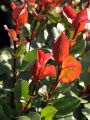 Glanzmispel 'Little Red Robin' - Photinia fraseri 'Little Red Robin'