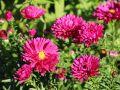 Glattblatt-Aster 'Royal Ruby' - Aster novi-belgii 'Royal Ruby'
