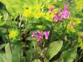 G�tterblume - Dodecatheon meadia