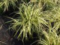 Gold Segge 'Evergold' - Carex oshimensis 'Evergold'