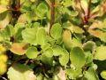 Goldtr�pfchen - Chiastophyllum oppositifolium